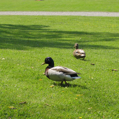 Ducks at Drottningholm