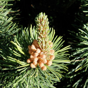 Pine blossoms